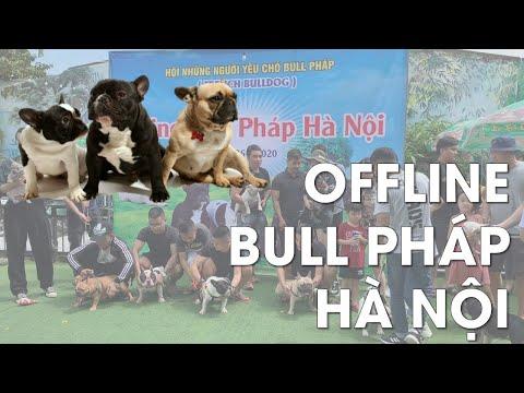 Offline hội BULL PHÁP Lớn nhất Hà Nội | Hùng chó Channel