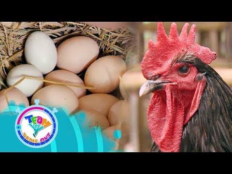 DV Boer Farm - Chickens   Team Yey Timeout