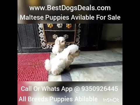 Maltese Puppies Avilable For In India Delhi Ncr