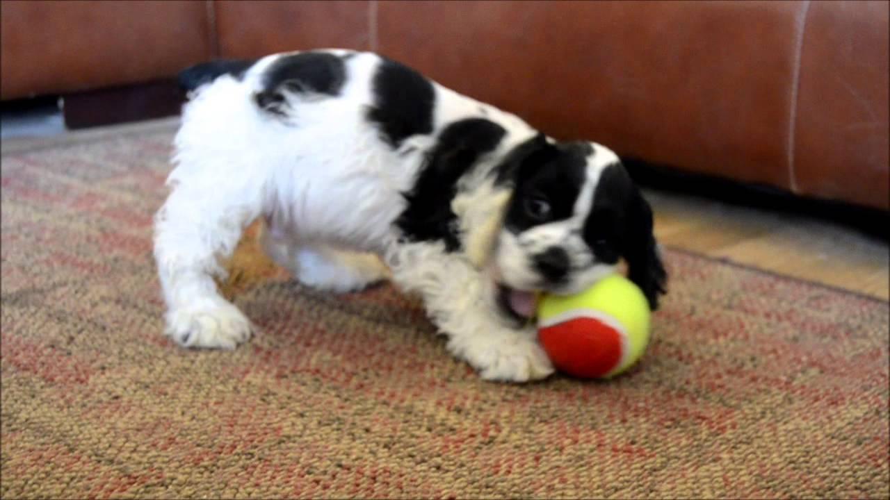 Cory an adorable male blackwhite parti cocker spaniel puppy for sale - YouTube