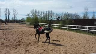 Пассаж на корде. Лошади 5 лет.