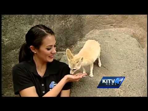 Fennec foxes at the Honolulu Zoo used as educational tools