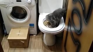 Приучаем котенка к унитазу. Его первый опыт. Котенку 3 месяца.