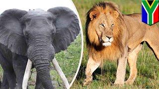 Download Video Pemburu badak diinjak gajah dan dimakan singa - TomoNews MP3 3GP MP4