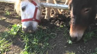 草を食べる馬?ポニー?【服部牧場】