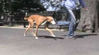 """Dog Exercise With Super Fit Fido Club """"need For Speed-perfect Trotting Pace"""""""