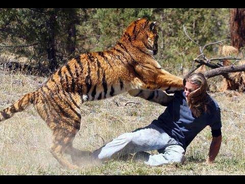 حيوانات مفترسه | حيوانات مجنونه تهاجم البشر HD - YouTube Bengal Tigers Attacking