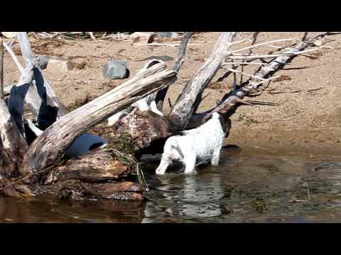 Field English Springer Spaniel puppies @ hellfiregundogs.com