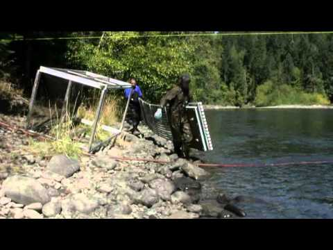 Elwha River Floating Weir: A Tool To Study Adult Salmon During And Following Dam Removal