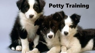 How To Potty Train A Border Collie Puppy - Border Collie House Training - Border Collie Puppies