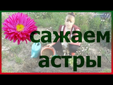 Астра Aster -