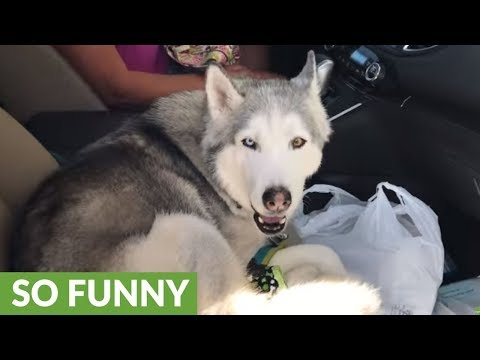 Stubborn husky refuses to give up front seat