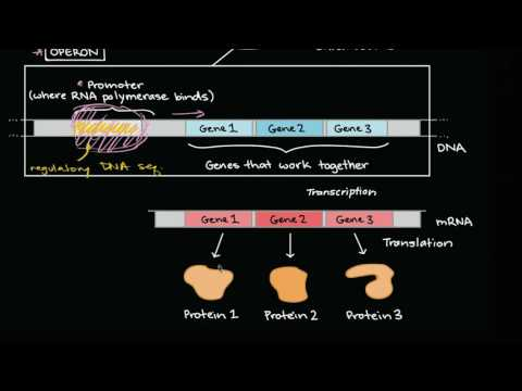 Operons and gene regulation in bacteria