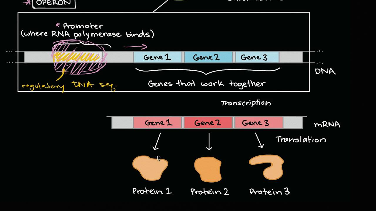 Operons and gene regulation in bacteria (video)   Khan Academy