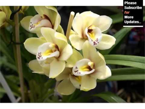 Cattleya Orchid   Orchid Breed And Tybe Identification By Picture - Flower Cattleya Orchid
