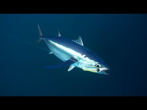 How To Catch Tuna // Tuna Tips