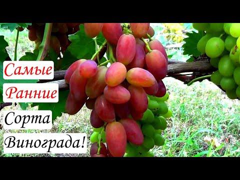 Сорта винограда. Самые ранние сорта. Виноград 2015.