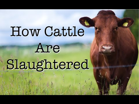 How Cattle Are Slaughtered
