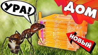 Camponotus Nicobarensis заселение муравьёв в ферму Кристалл