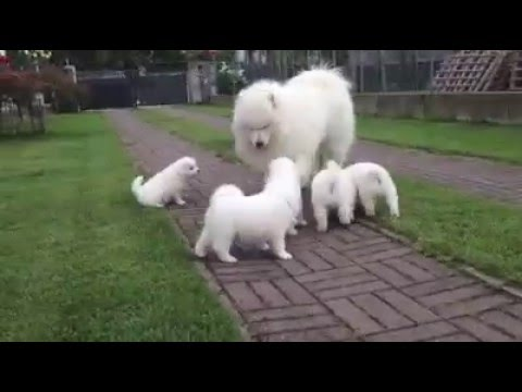 Samoyed family in South America