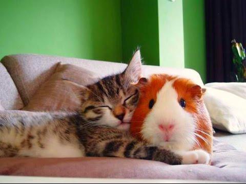 Кошки и Морские Свинки! Веселая Видео Подборка! Guinea Pig And Cat /