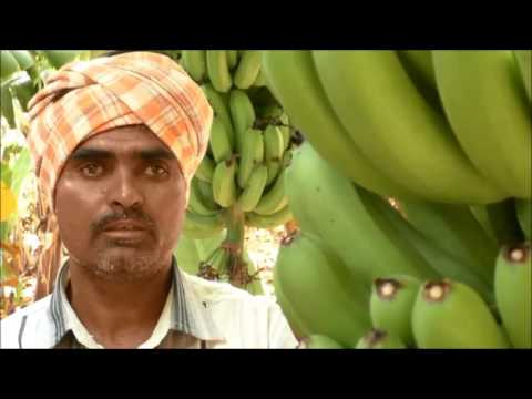 A Success Story In Natural Farming Method In Banana