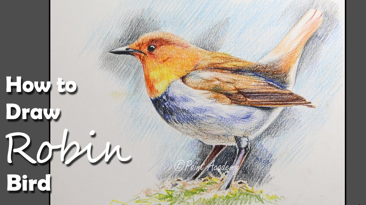 How to draw a robin bird with colored pencil step by step