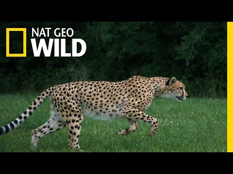 Cheetahs 101   Nat Geo Wild