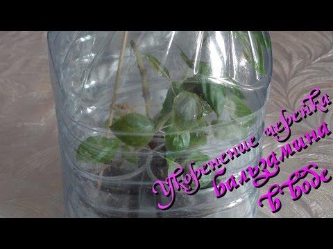 Укоренение черенков бальзамина в воде