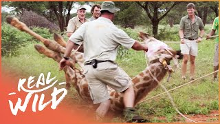Capturing A Wild Giraffe (Wildlife Documentary) Capture Wild School S1 EP2 | Real Wild