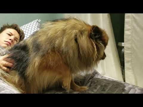 Kennel Cough - Pomeranian