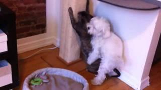 Dog humps cat, again!
