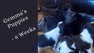 Gemma's Puppies   6 Week old English Springer Spaniel