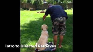 Labrador Doggy Bootcamp: Directed Retrieves, Off Leash Heeling, Control During Play. White Lake, Mi