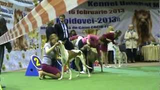 """""""Бест Юниоров"""". Выставки собак в Молдове 2013"""