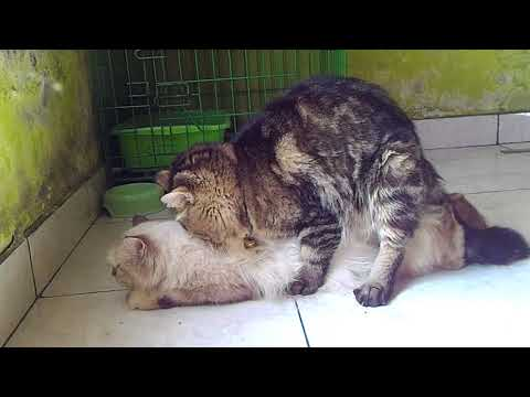 Kucing persia berhasil kawin dari pdkt sampai betina terpuaskan..