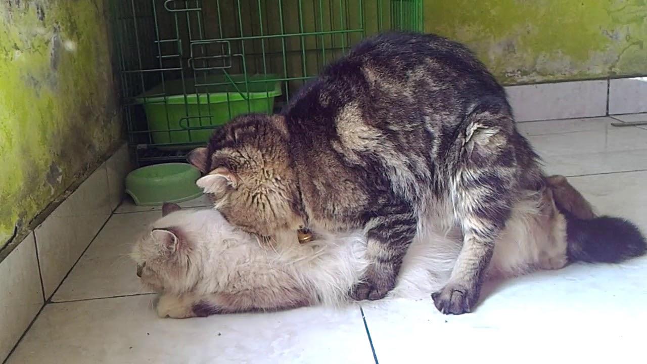 kucing persia berhasil kawin dari pdkt