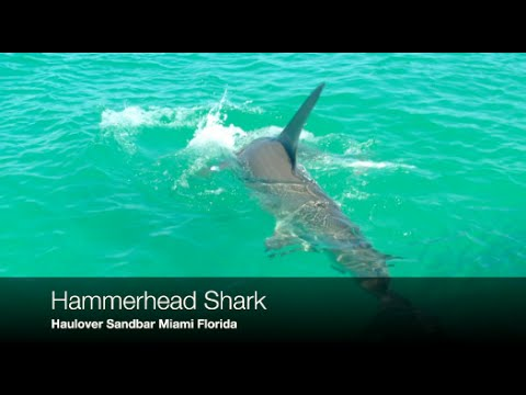 Hammerhead Shark at Haulover Sandbar swimming area