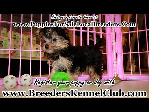Yorkshire Terrier, Yorkie, Puppies, Dogs, For Sale, In Columbus, Macon, Georgia, GA, Athens, Augusta