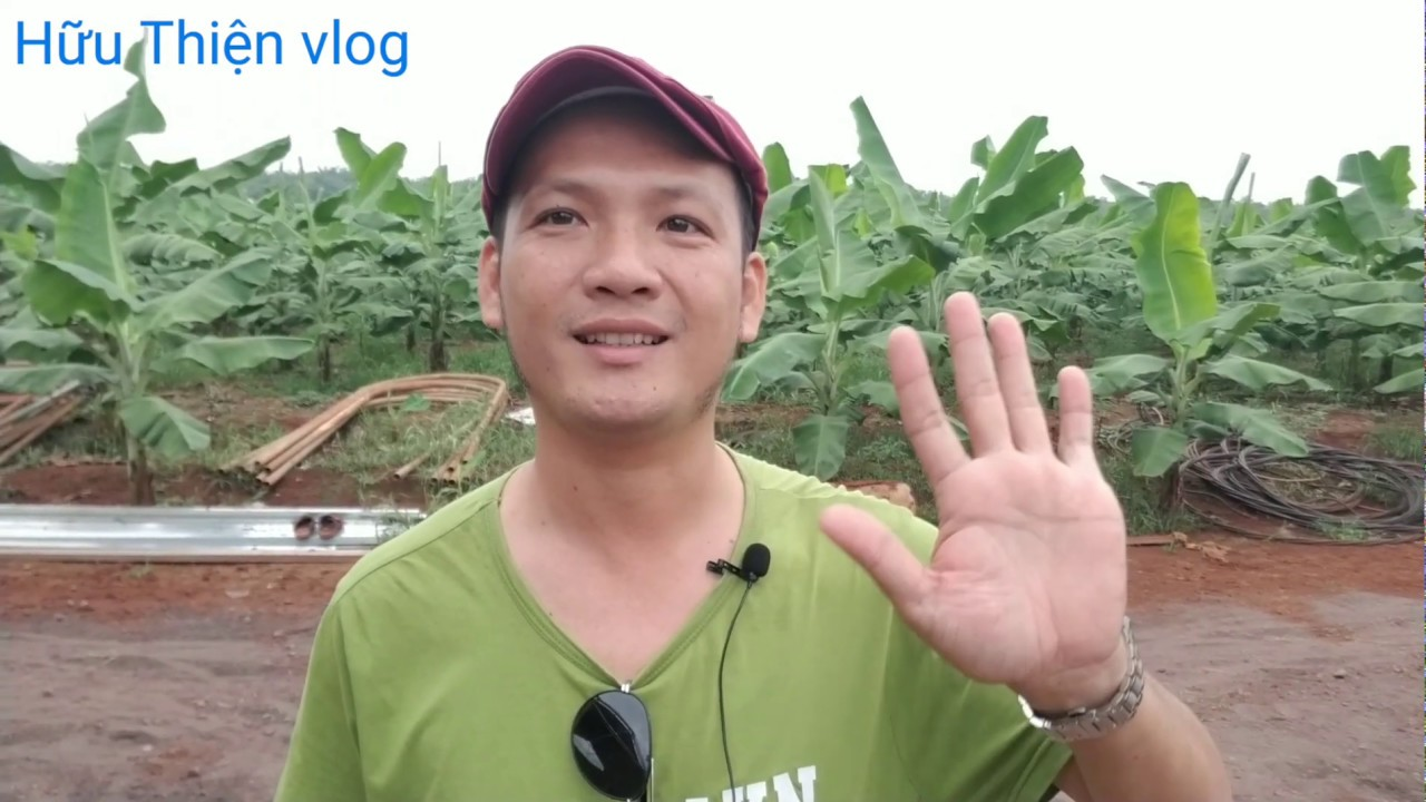 Nông trường chuối già lùn Nam Mỹ, đầu tư 5 tỷ diện tích 20 ha được trồng tại Long Tân, Đất Đỏ BRVT