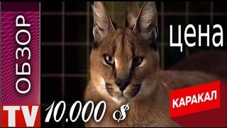 ПУШКИНО  Дорогая   Кошка  КАРАКАЛ  цена  10 000$
