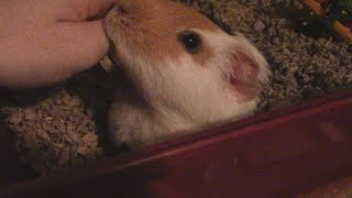 Very Happy Guinea Pig Wheeking and Squeaking Over Clean Cage! …