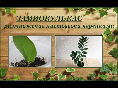 Как вырастить замиокулькас (долларовое дерево) из листа