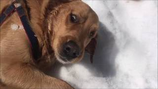 Golden retriever in snow,  What Does My Dog, Funny dogs videos,