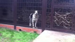 Щенок скулит.(Гости пришли, 5-ти месячного щенка пришлось закрыть., 2013-06-16T10:45:11.000Z)