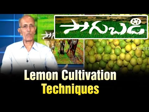 Lemon trees cultivation techniques by Horticulture Scientist Ram Subba Reddy - Sagubadi