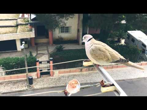 Visita de um pássaro que acho que é uma...