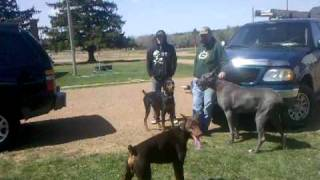 3 dobermans and a great dane