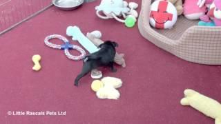 Loving Black Pug Girl Puppy