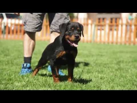 five-things-you-should-know-about-rottweilers